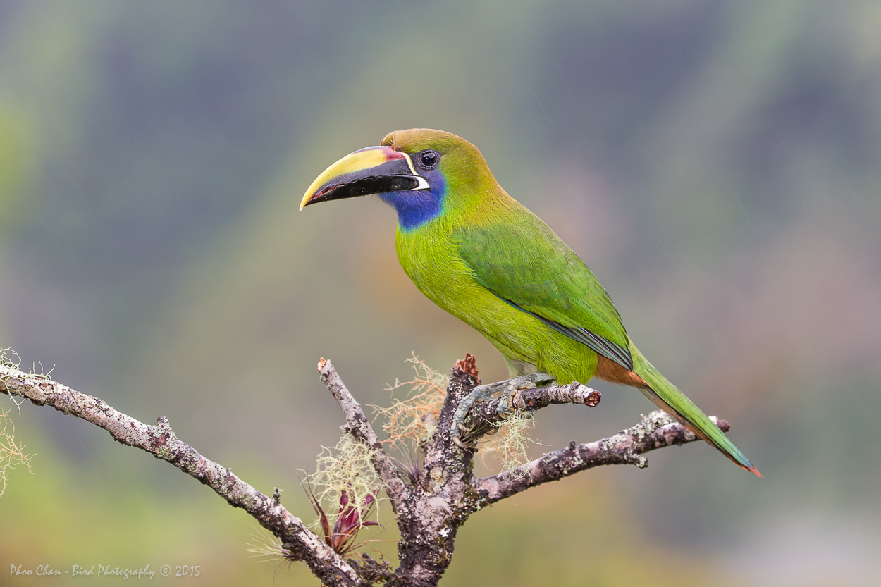 Emerald Toucanet of Caribbean Rainforest, Costa Rica