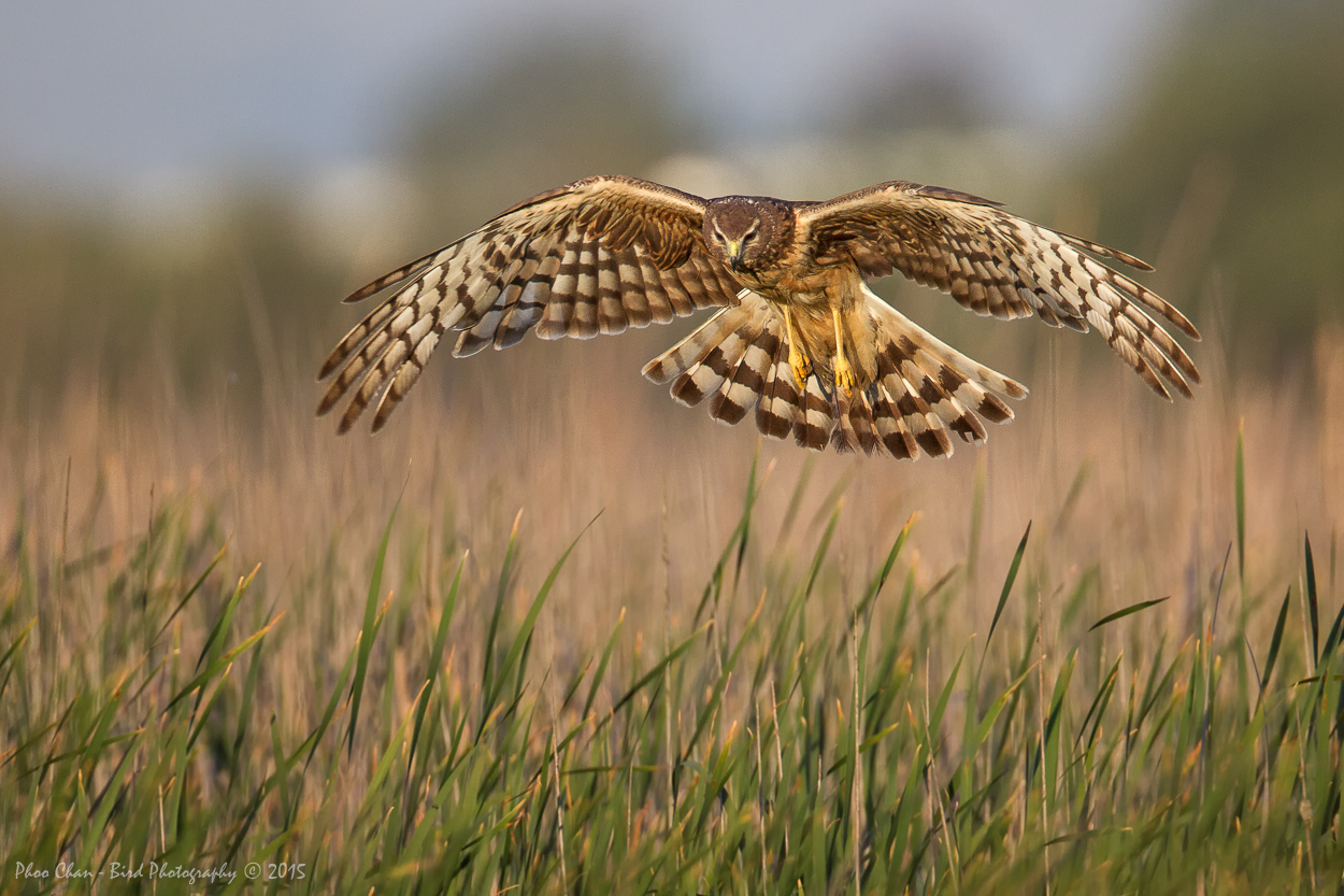 Northern Harrier (F)