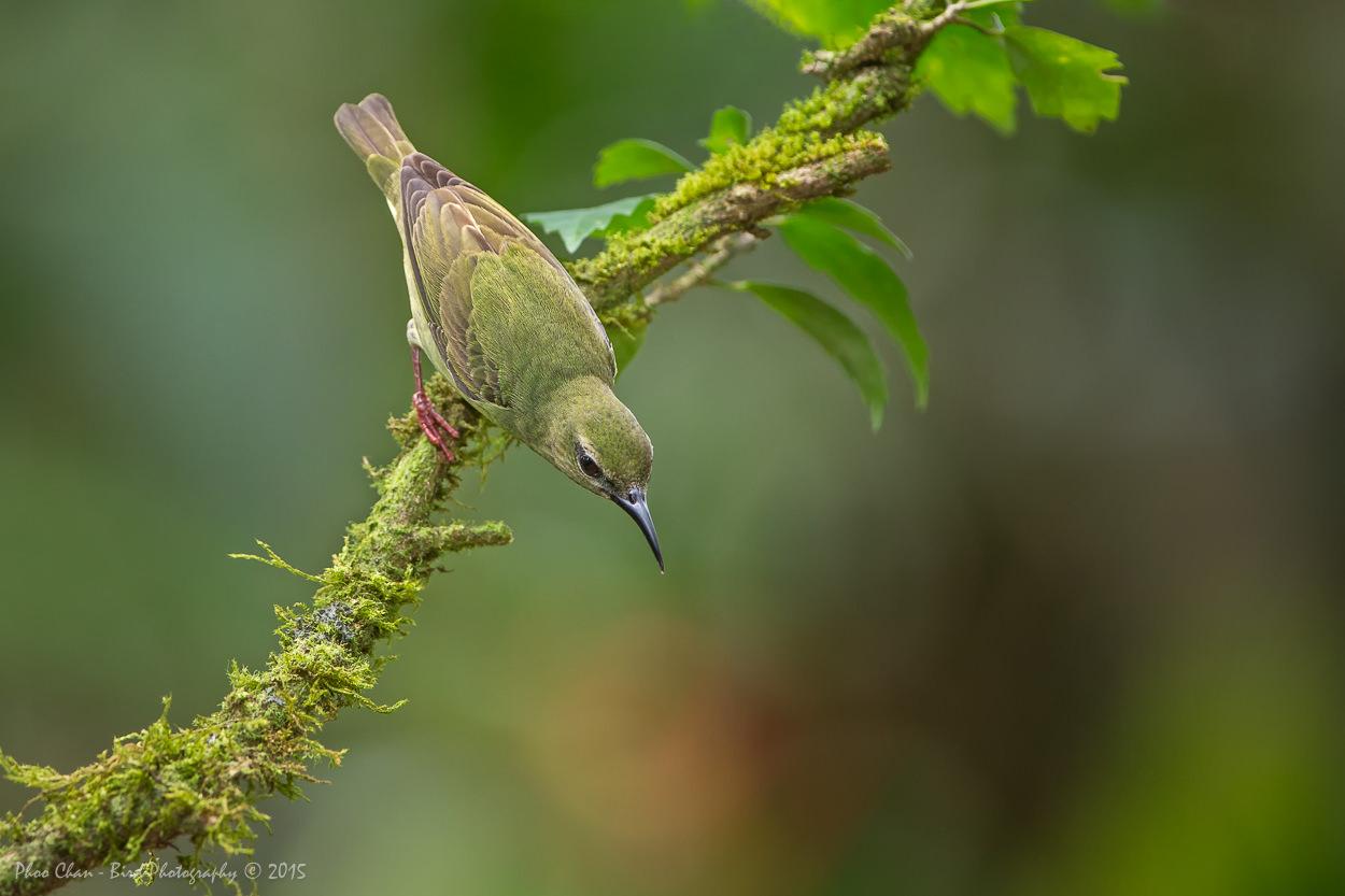 Red-legged Honeycreeper (female)
