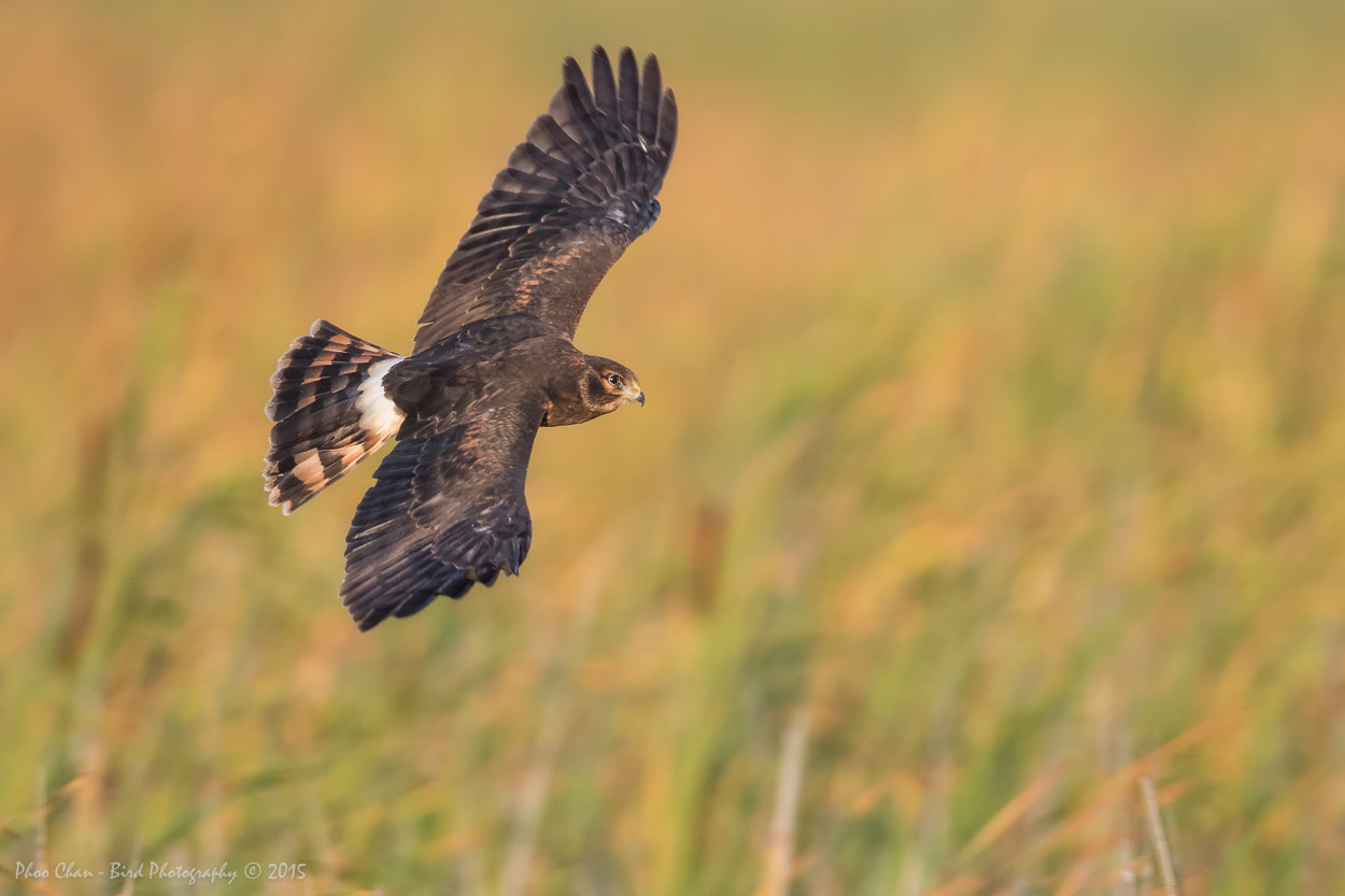 Northern Harrier - Juvy