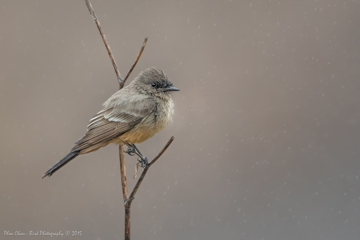 Say's Phoebe of CHRP