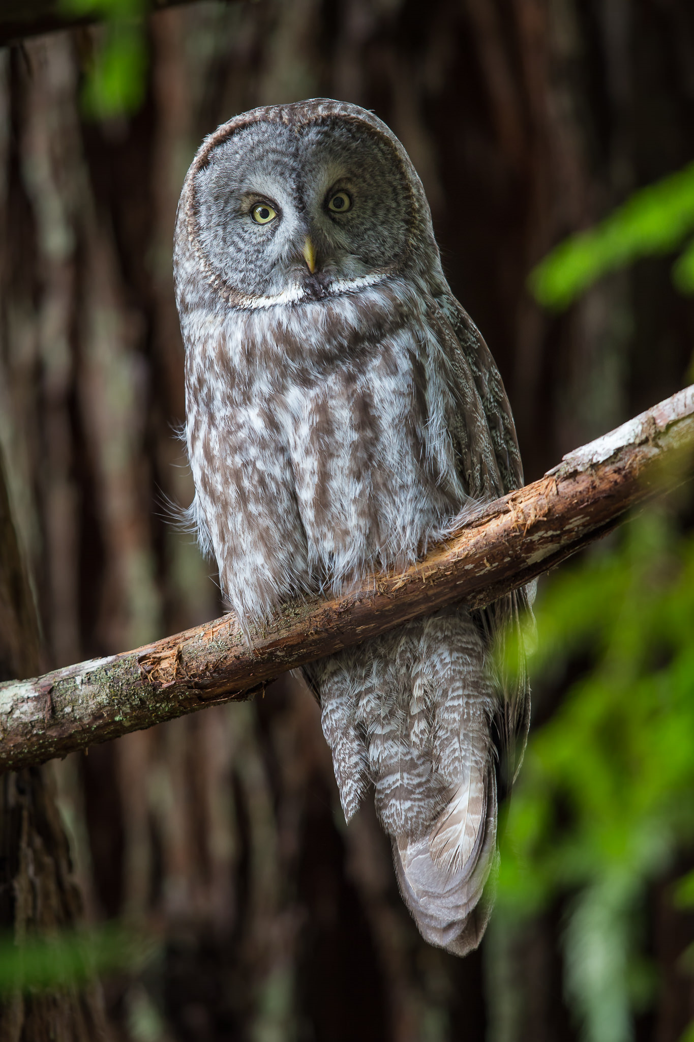 great gray owl facts - HD1365×2048