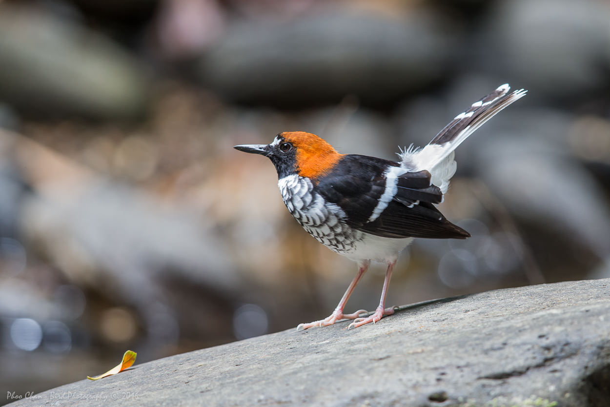 Chestnut-naped Forktail