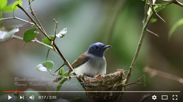Black-naped Monarch Nesting - Thailand