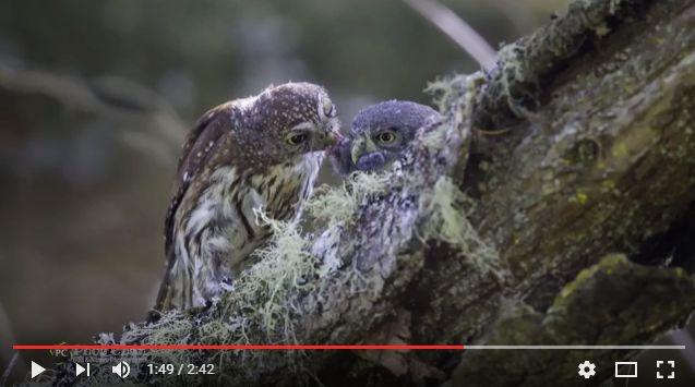 Northern Pygmy Owl of San Mateo
