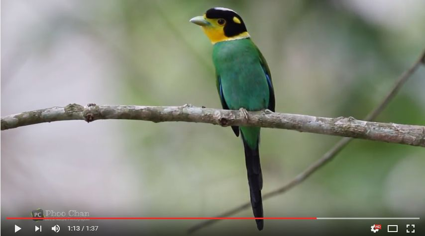 Long-tailed Broadbill - Thailand