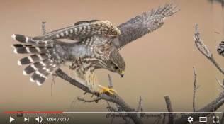 The Lady Hawk
