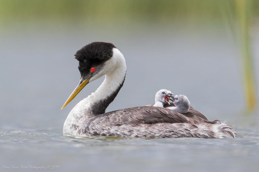Restless babies upsetting the mother grebe