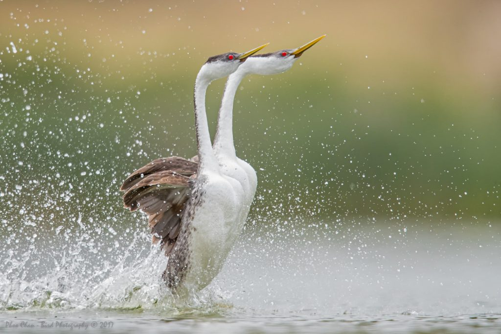 Western Grebe rushing against three-layered background