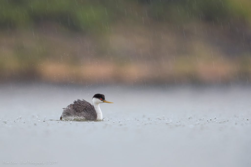 Lone Western Grebe in the rain