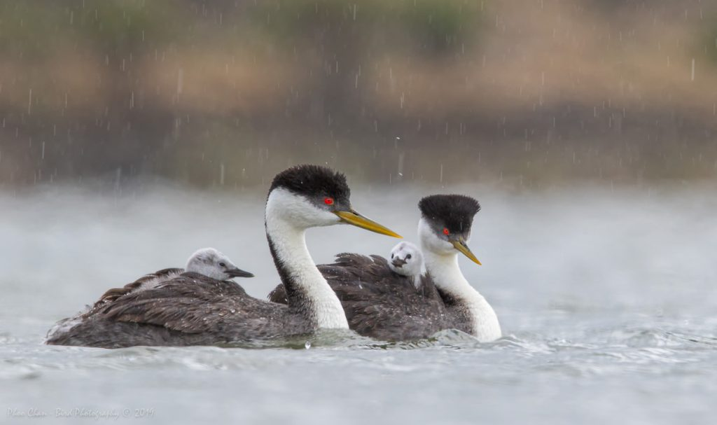 Grebe family in the rain