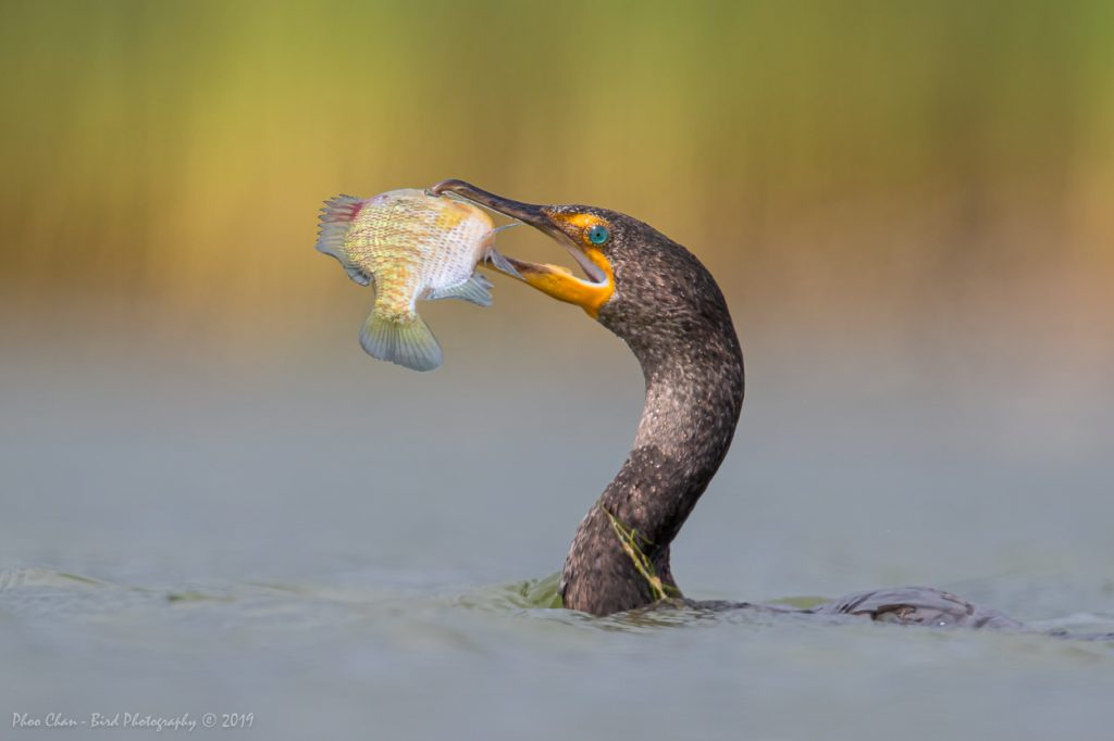 Bonus shot of a cormorant with a bigh catch